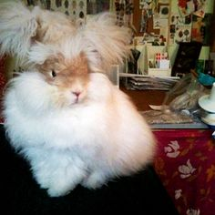 Image of English Angora Bunnies make great pets! Omw, I WANT this bunny!!!!!! It has pigtails! I have never seen a bunny with pigtails!!