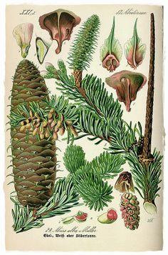 pine cone botanical