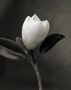 Charles Grogg: Magnolia 3
