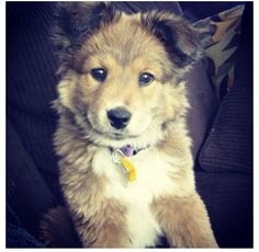 Border collie and German Shepard mix