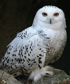 Sarkvidék - csodabogyo.lapunk.hu Birds, Beauty, White Owls, Naturaleza, Animaux, Beleza