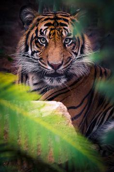 Amazing wildlife - Tiger photo by DeeDeeBean Beautiful Cats, Animals Beautiful, Cute Animals, Wild Animals, Animals Amazing, Majestic Animals, Baby Animals, Serval, Big Cats