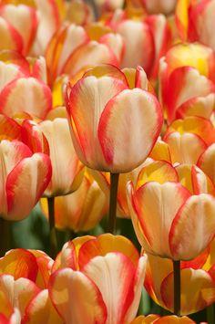 Tulip Darwin Hybrid Beauty of Spring from Colorblends Wholesale Flowerbulbs - Year of the Tulip - National Garden Bureau #tulips #springbulbs #springflowers #cutflowers