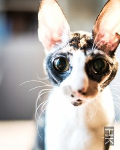 Cornish Rex: photo by: Cute Cats And Kittens, I Love Cats, Crazy Cats, Cool Cats, Kittens Cutest, Animals Amazing, Cute Animals, Cornish Rex Kitten, Purebred Cats