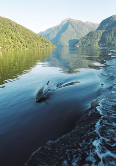 Fiordland National Park, New Zealand... yes, that is a dolphin - great pic!