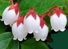 "Unusual, Adorable, Unique ….""Western Teaberry""…Gaultheria ovatifolia | Auntie Dogma's Garden Spot"