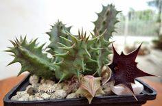 ●  Huernia keniensis R.E.Fries         ·  Nombres comunes:  huernia   ·  Sinónimos más frecuentes:  no tiene   ·  Familia: Asclepiadáceas ...