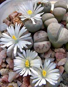 Blooming Lithops karasmontana 'Micksbergensis' Succulent