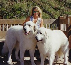 Great pyrenees.. these are some biig dogs