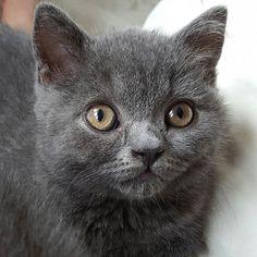 Miss Dee  #britishblue #britishshorthair #kittens #furbaby