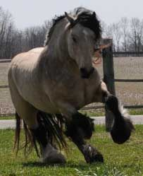 Gypsy Vanner - this is a small draft horse.  We jus don't have room or a reason for these.  I like an animal to have a reason so that you spend TIME with it. This is one in buckskin they are a beautiful beautiful horse