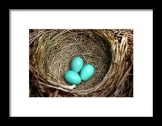 Birds Nest American Robin Framed Print by Christina Rollo.  All framed prints are professionally printed, framed, assembled, and shipped within 3 - 4 business days and delivered ready-to-hang on your wall. Choose from multiple print sizes and hundreds of frame and mat options.