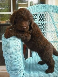 My dream dog! Maybe one day I will convince my husband to let us get a puppy like this.