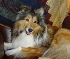 Sheltie Rescue - Bing Images
