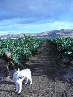 Aurora, the namesake for Sleeping Dog Wines, served as the mascot of the Benton City, Wash., winery until 2013.