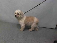 FLUFFY - A1089019 - - Manhattan  Please Share:TO BE DESTROYED 09/12/16 **NEEDS A NEW HOPE RESCUE TO PULL**  This tan and white Maltese mix may be little, but he is not dumb. He knows where he doesn't belong and that is at the ACC! He has tried every way he knows how to let the staff know that this IS NOT the place for him, but unfortunately that has worked against him. His efforts to communicate have resulted in his being placed on tomorrow's euth list. Fluffy w
