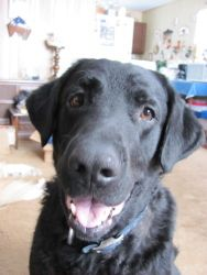 Sam/Courtesy post is an adoptable Chesapeake Bay Retriever Dog in Milwaukee, WI. THIS IS A COURTESY POST. Labs N More makes to claim to the health or temperament of Sam: Please contact Sue At skersten...