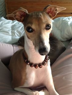 An Italian Greyhound, Lola, poses with such elegance and beauty.  Spectacular!