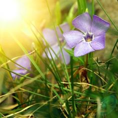 Vinpocetine is an extract from the periwinkle plant (Vinca minor), specifically it's seeds. It is most often used for improving memory and concentration. It's second-most popular use is for treating tinnitus.