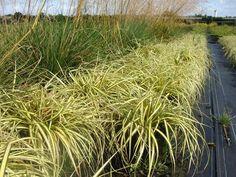 Carex 'Evergold' at