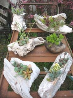 large Various driftwood succulents on the coast of Washington with proven succulents and sedum plants . Use as a driftwood centerpiece Succulents Planting