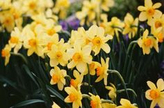How to Separate Daffodils and replant