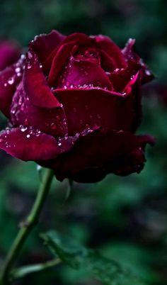 rosa s