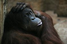 """The fires, set illegally by a few oil palm companies to clear the last tracts of forests within their concessions said Dr. Ian Singleton of the Sumatran Orangutan Conservation Programme (SOCP) in Indonesia, meant the native orang-utans could """"have only a few more months, if not weeks, before disappearing forever."""""""
