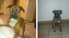 Lost Dog - Boxer - Phoenix, AZ, United States 85018