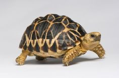 Burmese star tortoise (Geochelone platynota) Critically endangered, fewer than left in the wild. Photographed at the Los Angeles Zoo in Los Angeles, California. (© Photo by Joel Sartore/National Geographic Photo Ark) Tortoise Habitat, Tortoise Care, Giant Tortoise, Tortoise Turtle, Small Turtles, Cute Turtles, Pet Turtle, Turtle Love, Different Types Of Turtles