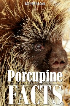 Porcupines are large rodents with distinctive protective quills. There are two families: Old World porcupines and New World porcupines. The two families are not closely related. You can find out more about these prickly mammals in this excellent guide. Animal Facts For Kids, Old World, Mammals, Habitats, Fun Facts, Families, Pictures, Photos