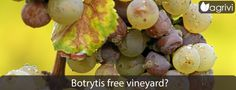Botrytis free #vineyard? | Agrivi