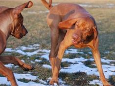 Vizslas ; Common Nicknames: Hungarian Vizsla, Magyar Vizsla, Hungarian Pointer, Drotszoru Magyar Vizsla  Origin: Hungary  Description: The Vizsla is a large purebred known for being affectionate, alert, cheerful, energetic, friendly, gentle, intelligent, loyal, playful, protective, quiet, and responsive. To keep it healthy, it will need to get exercise regularly. Known to be multi-talented, the Vizsla participates in a wide variety of activities such as hunting, man trailing, and pointing.
