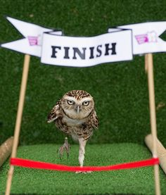OWL OLYMPIAN ,Bob the burrowing owl is the star of the London Zoo's Animal Athletes in Action. Here he competes in a 100-centimeter sprint.