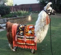 llama Twist modeling a blanket I made to sell