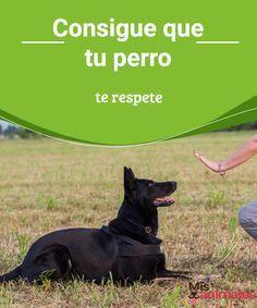 Consigue que tu perro te respete Descubre qué hacer para que el perro te respete, pues son animales de manada con sus propias costumbres que tendrás que entender. #respeto #enseñar #aprender #adiestramiento