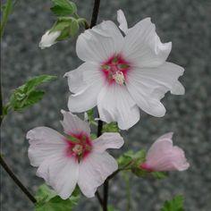 LAVATERA 'Barnsley' (Lavatère) : Arbuste semi-persistant, vigoureux et florifère pour emplacements ensoleillés et chauds. Feuillage vert grisâtre. Fleurs blanches ou blanc rosé, satinées, à cœur rose pourpré.