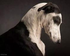 The magnificent animal studio photos of Paul Croes- Les magnifiques photos studio animalieres de Paul Croes animal photography portraits Pet Dogs, Dogs And Puppies, Dog Cat, Doggies, Big Black Dog Breeds, Black Dogs, Dog Photos, Dog Pictures, Animal Original