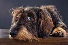 The heart wrenching look.  This Wirehair looks just like my Bitsie Boo Pepper.  Love.