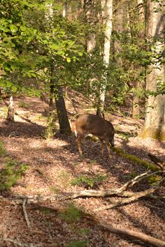 Deer at Cades Cove #tennessee