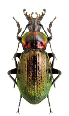 Carabus Macrothorax morbillosus alternans Beetle Insect, Beetle Bug, Macro Pictures, Beautiful Bugs, Hans Christian, Bugs And Insects, Large Animals, Amphibians, Beautiful Creatures