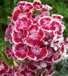 Claveles. #flowers #carnations #petals...