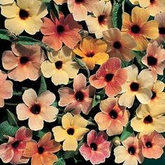 SPANISH EYES Black-Eyed Susan Vine Seeds  Dark-eyed blooms in beautiful apricot, salmon, rose and ivory shades on heavy blooming 4-5 foot vines.
