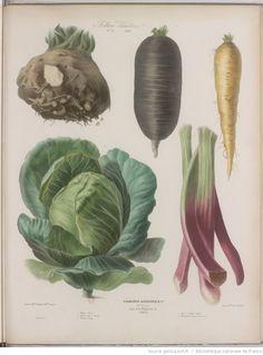 Album Vilmorin. Fleurs rustiques, annuelles et vivaces, légumes et plantes fourragères, peintes d'après nature par Mme Champin et Mlle Coutance   Gallica