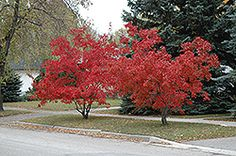 Click to view full-size photo of Flame Amur Maple (Acer ginnala 'Flame') at Plant World