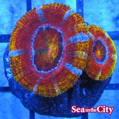 Reef Tanks, Live Coral, Corals, Deep Sea, Crochet Earrings, City, Cities