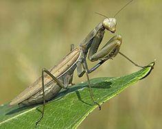 the praying mantis | Praying Mantis