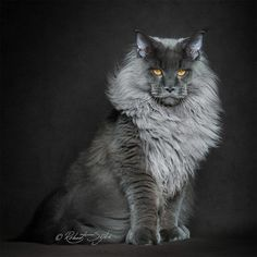 We adore cats with long hair. Learn about some of our favorite breeds, including the Persian, Maine Coon and Norwegian Forest Cat. Pretty Cats, Beautiful Cats, Animals Beautiful, Cute Cats, Funny Cats, Cute Animals, Wild Animals, Funny Animal, Beautiful Pictures