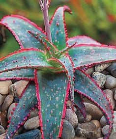 Live Christmas Carol Aloe Plant | zulily