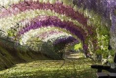 The Kawachi Fuji Gardens in Kitakyushu, Japan, is home to 150 plants and 20 different species of the flowering vine. Virtual Travel, Virtual Tour, Wyoming, Wisteria Tunnel, Tree Tunnel, Virtual Field Trips, Visit Japan, Parc National, Walking Tour